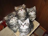 Продажа шотландских котят. Котята шотландцы вислоухие и прямоухие. Питомник
