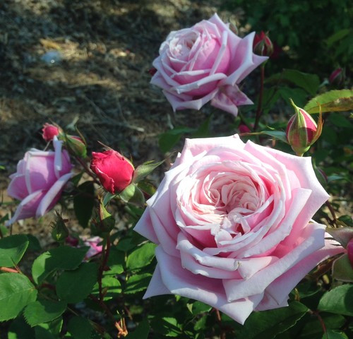 "Саженцы роз ""Блоссомтайм"", фото 1"
