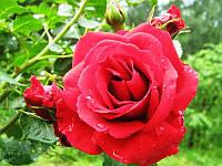 """Саженцы роз """"Симпати"""" (""""Симпатия""""), фото 1"""