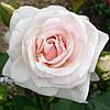 """Саженцы Роз """"Шванензее"""" белая с нежно-розовым оттенком (Сван Лейк)"""