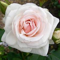 """Саженцы Роз """"Шванензее"""" белая с нежно-розовым оттенком (Сван Лейк), фото 1"""