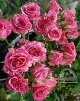 """Роза """"Pink Flash"""" C7,5"""
