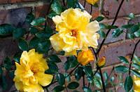 """Саженцы роз """"Голден Шауєрс"""" (""""Голден Шауерс""""), фото 1"""