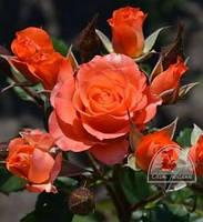 """Роза """"Alegria"""" C7,5"""