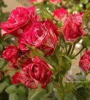 "Роза ""Arrow Folies"" C7,5"