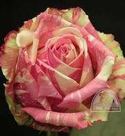 "Роза ""Fiesta"" C7,5"
