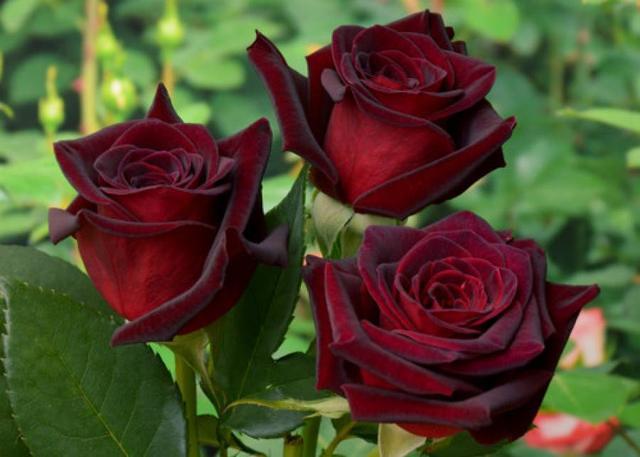 Саженцы Роз Чайно-гибридные