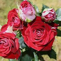 """Саженцы роз """"Руби Стар"""""""
