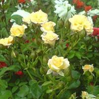 "Саженцы роз ""Абрикосовый"" (""Абрикосовая"" роза-спрей), фото 1"