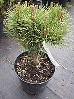 """Сосна горная Саншайн """"Pinus mugo Sunshine"""""""