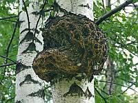 Мицелий на брусочках Чага (Березовый гриб), Inonotus obliquus