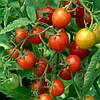 Висаджування помідорів без шкоди для довкілля