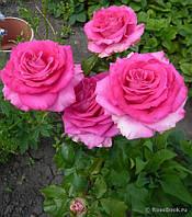 Роза Топаз (Topaz) чайно-гибридная