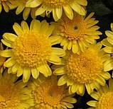 Хризантема ЭКЗОТ шарообразная КЕРРИ, фото 3