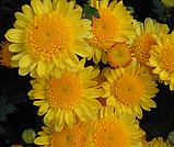 Хризантема ЭКЗОТ шарообразная КЕРРИ, фото 2