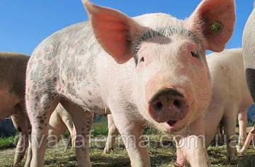 Как правильно кормить свиней для быстрого роста
