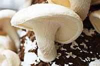 Мицелий на брусочках Шиитаке Белый Китайский, Lentinula edodes