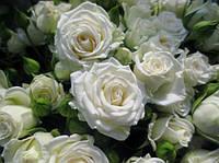 "Саженцы роз ""Вайт Лидия"" (""Уайт Лидия""), фото 1"