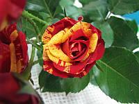 """Саженцы роз """"Файер Флеш"""" (""""Файер Флэш""""), фото 1"""
