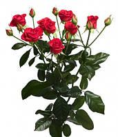 "Саженцы роз ""Хот Баблз"", фото 1"