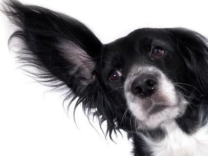 Ушные заболевания у собак