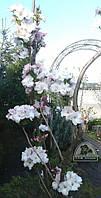 "Сакура (Вишня мелкопильчатая) ""Amanogawa"" /H 2.0-2.5 м"