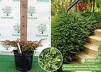 Можжевельник обыкновенный Репанда (Repanda), 15-25 см (контейнер 5 л)