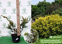 Тис ягодний Саммерголд (Summergold), 40-60 см (контейнер 7,5 л)