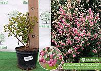 Снежноягодник розовоплодный Мазер оф перл (Mother of Pearl), 25-35 см (контейнер л)