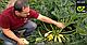 Семена кабачка Ардендо F1 \ Ardendo 174 F1 500 семян Enza Zaden, фото 5