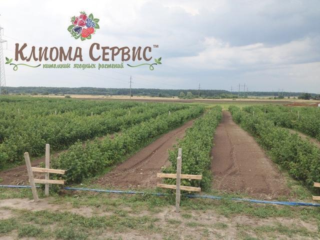 саженцы малины, саженцы малины купить, саженцы малины оптом, саженцы малины в Украине, продажа сеженцев малины