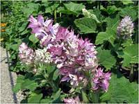 Шалфей мускатный Salvia sclarea