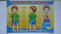 """Обучающий плакат """"Будова Тіла Людини"""",680*480мм,(укр),картон ламин.Навчальний плакат """"Будова Тіла Людини"""",.Нао"""