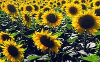 Семена подсолнечника Дентон, Seed Grain Company