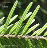 Пихта белая европейская (ялиця) ( Abies alba), фото 4