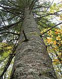 Пихта белая европейская (ялиця) ( Abies alba), фото 5