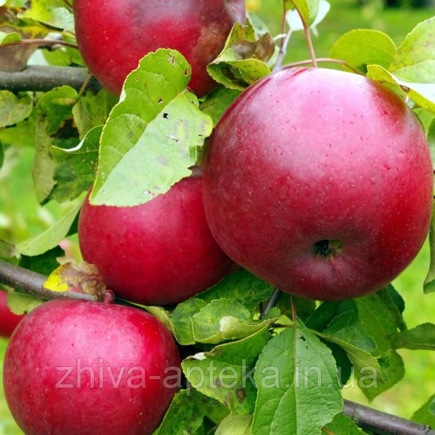 Сорт яблонь амулет языческие амулеты и обереги купить