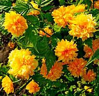 Керрия японская 'Pleniflora' 25-40 см