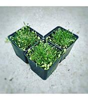 Dianthus 'Babi Lom' Гвоздика 'Бабі Лом',P9