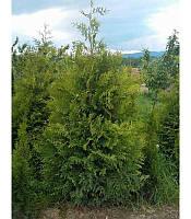 Thuja occidentalis 'Frieslandia' Туя західна 'Фрісландія',З грунту,200-220см