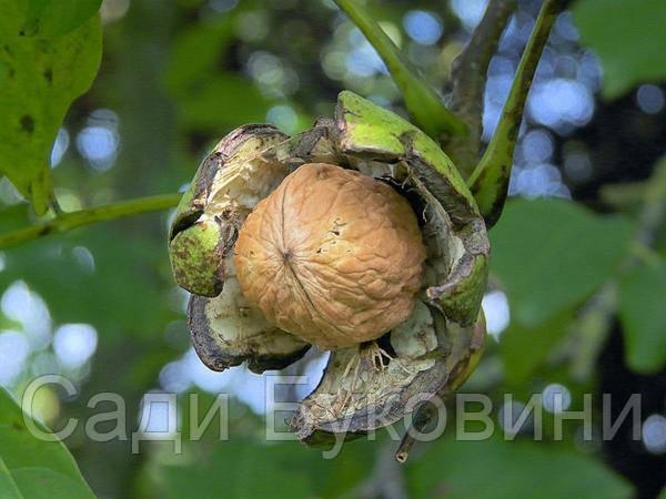 Саженцы грецкого ореха Клишковский (двухлетний)
