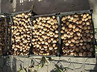 Саженцы грецкого ореха Великан (двухлетний)