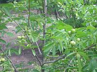 Грецкий орех Прикарпатский (трехлетний)