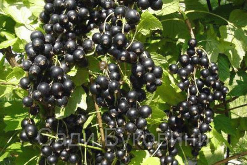 Саджанці чорної смородини Рубен