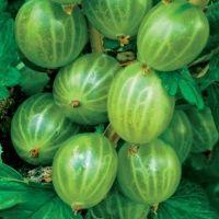Саджанці агрусу Мукурінес