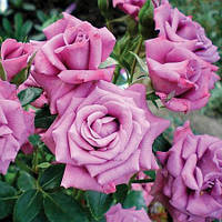 "Саженцы роз ""Лавендер Джевел"" (""Лавандер Джевел""), фото 1"