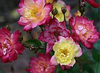 """Саженцы роз """"Беби Маскарад"""" (""""Бэби Маскарад"""") , фото 1"""