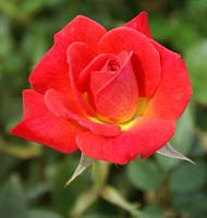 """Саженцы роз """"Старина"""""""