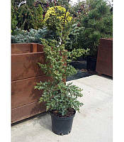 Juniperus chinensis 'Blue Alps' Ялівець китайський,C2-C3,80-100см