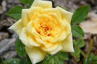 """Саженцы роз """"Желтая Кукла"""", фото 1"""